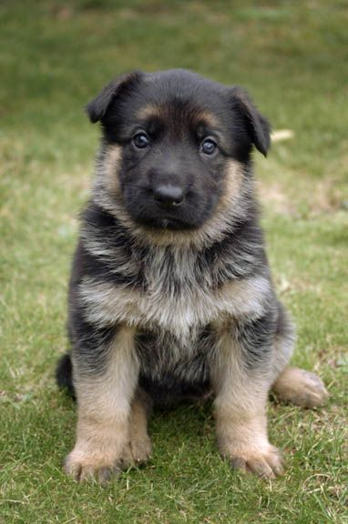 Adorable German Shepherd Puppy
